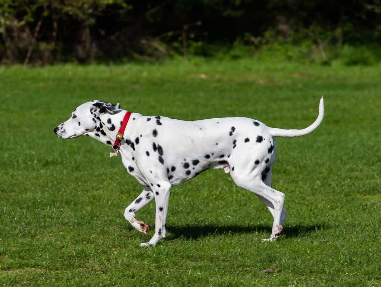 Dalmatian Medium Sized Dogs
