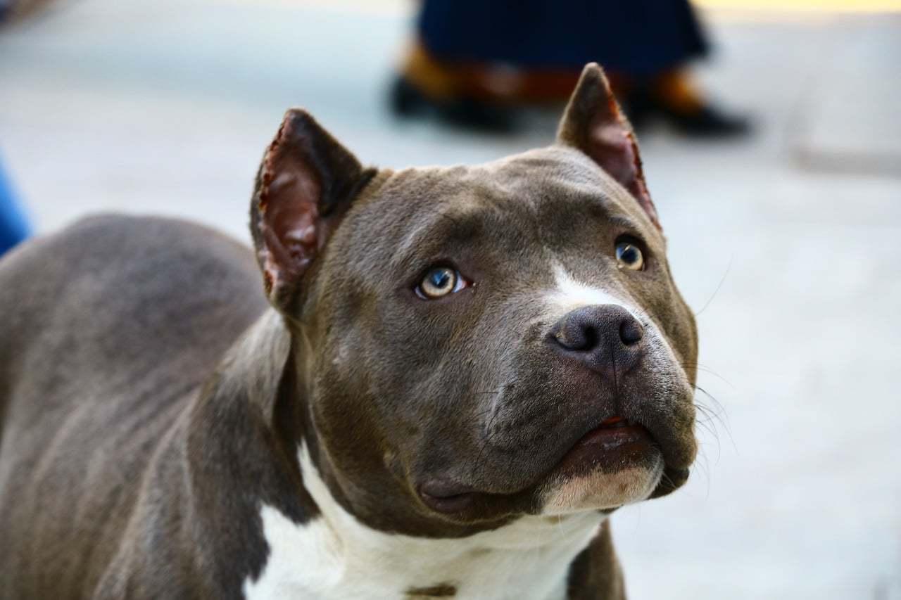 Pitbull medium sized dogs