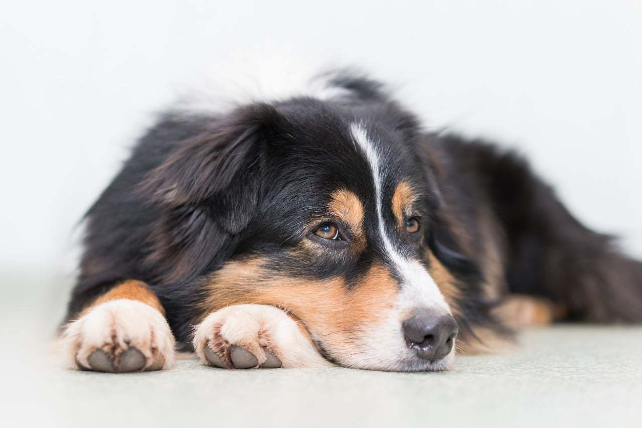 Australian shepherd dog grooming and moving out