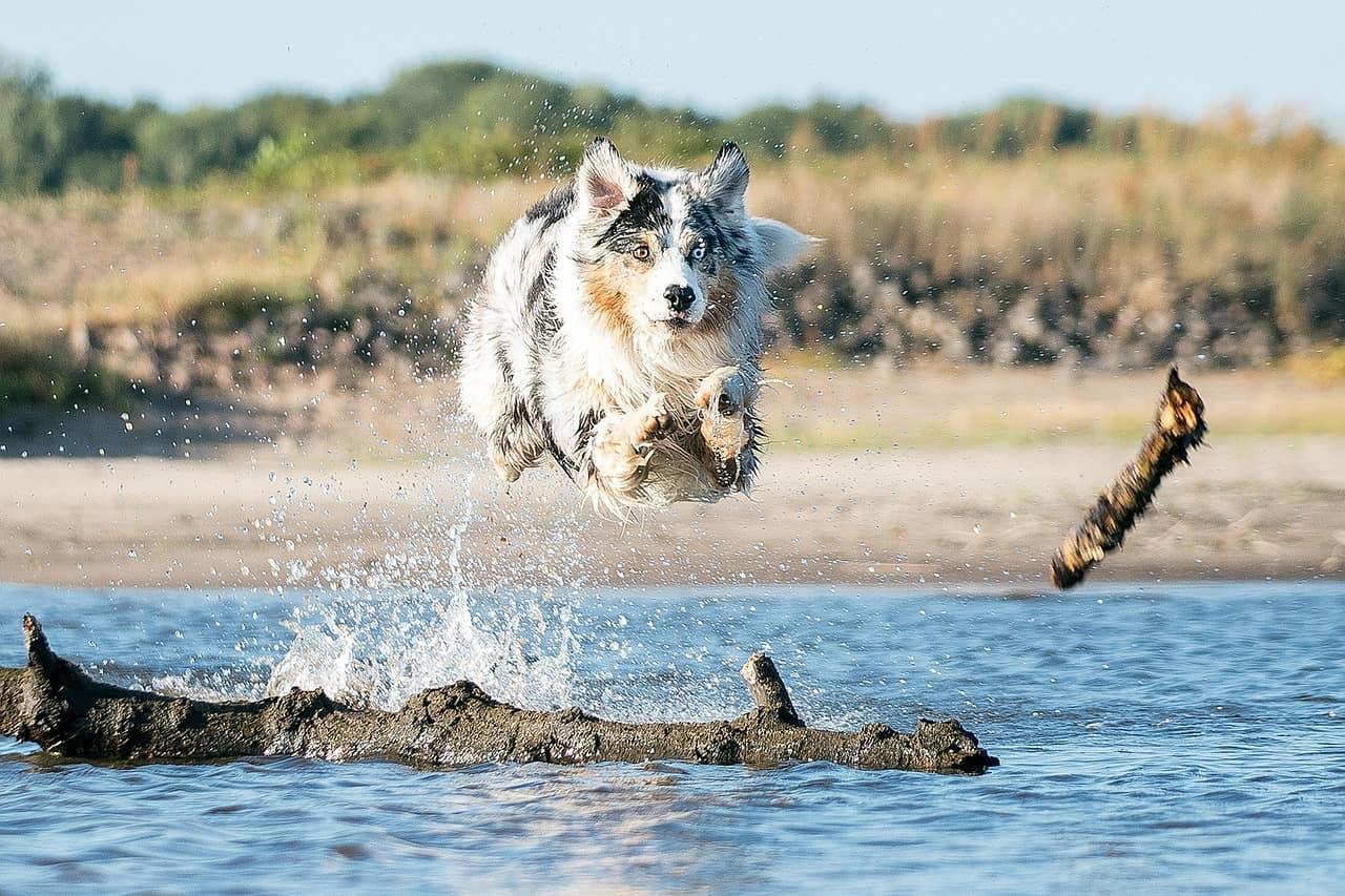Australian shepherd dog exercise requirements