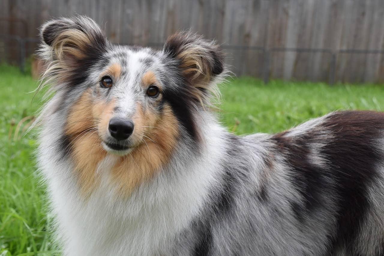 Shetland-Sheepdog Medium Sized Dogs