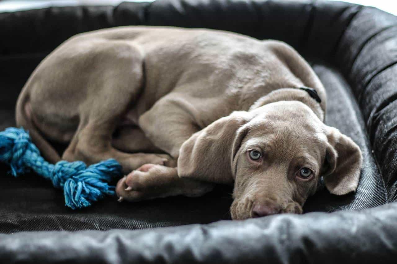 Weimaraner-Dog Medium-Sized Dogs