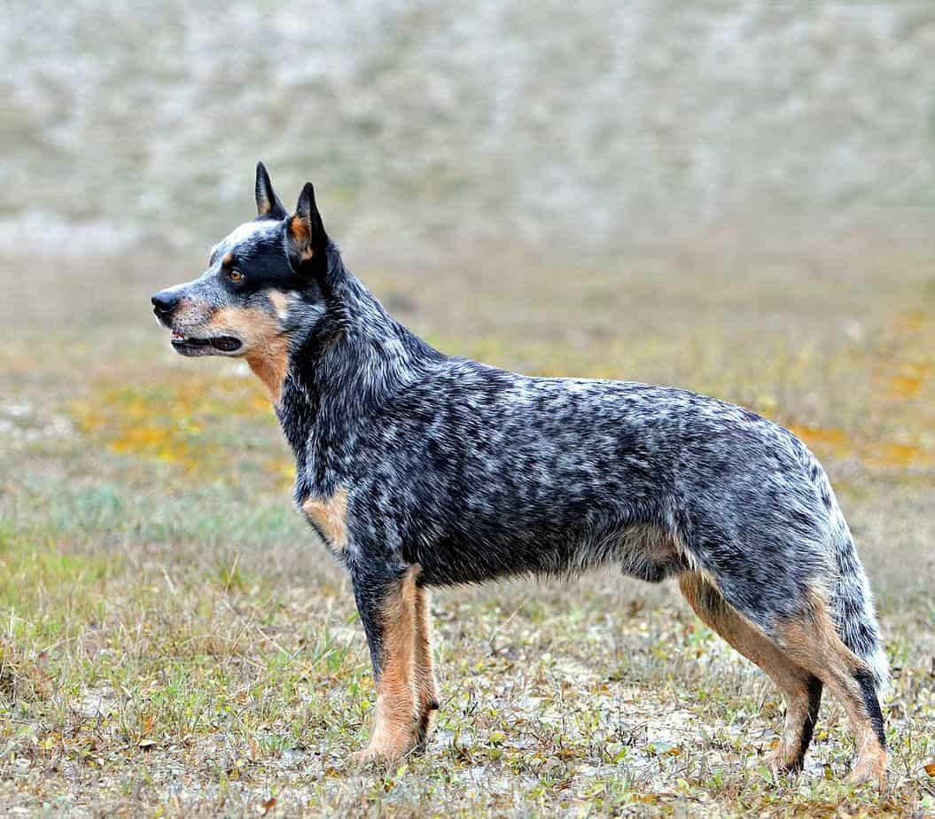 Australian-cattle-Medium-Sized Dogs Breed