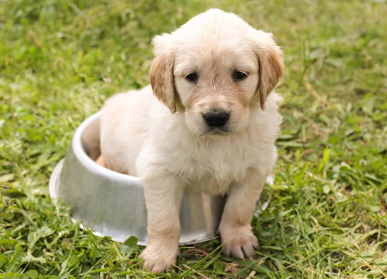 Golden Retriever Puppy Price